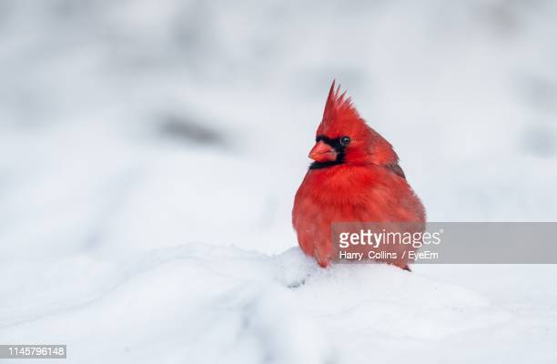 812 Cardinal Snow Photos And Premium High Res Pictures Getty Images