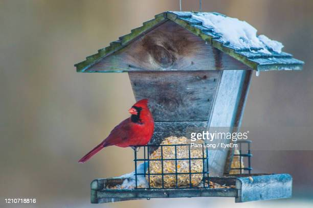 close-up of cardinal perching on feeder - birdhouse stock pictures, royalty-free photos & images