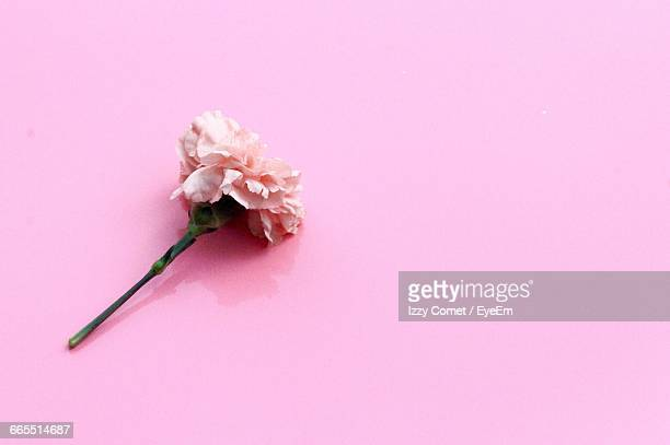 close-up of carnation against pink wall - carnation flower stock pictures, royalty-free photos & images