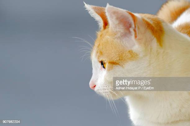 Close-Up Of Cat Against Gray Background