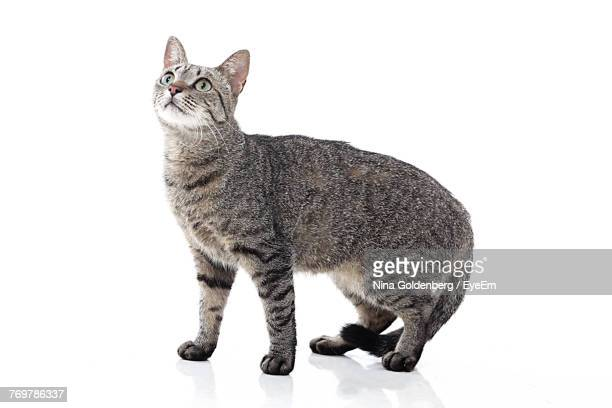 close-up of cat against white background - chat photos et images de collection