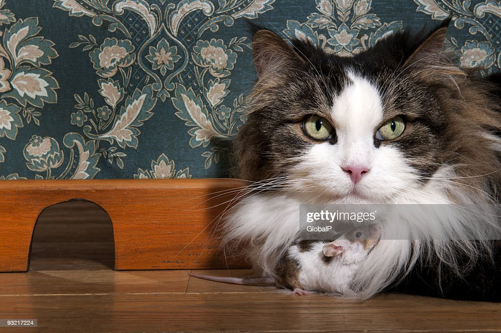 Close-up of cat and mouse together on wooden floor indoors : Stock Photo