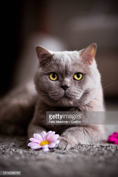 close-up of cat by flower - british shorthair cat stock pictures, royalty-free photos & images