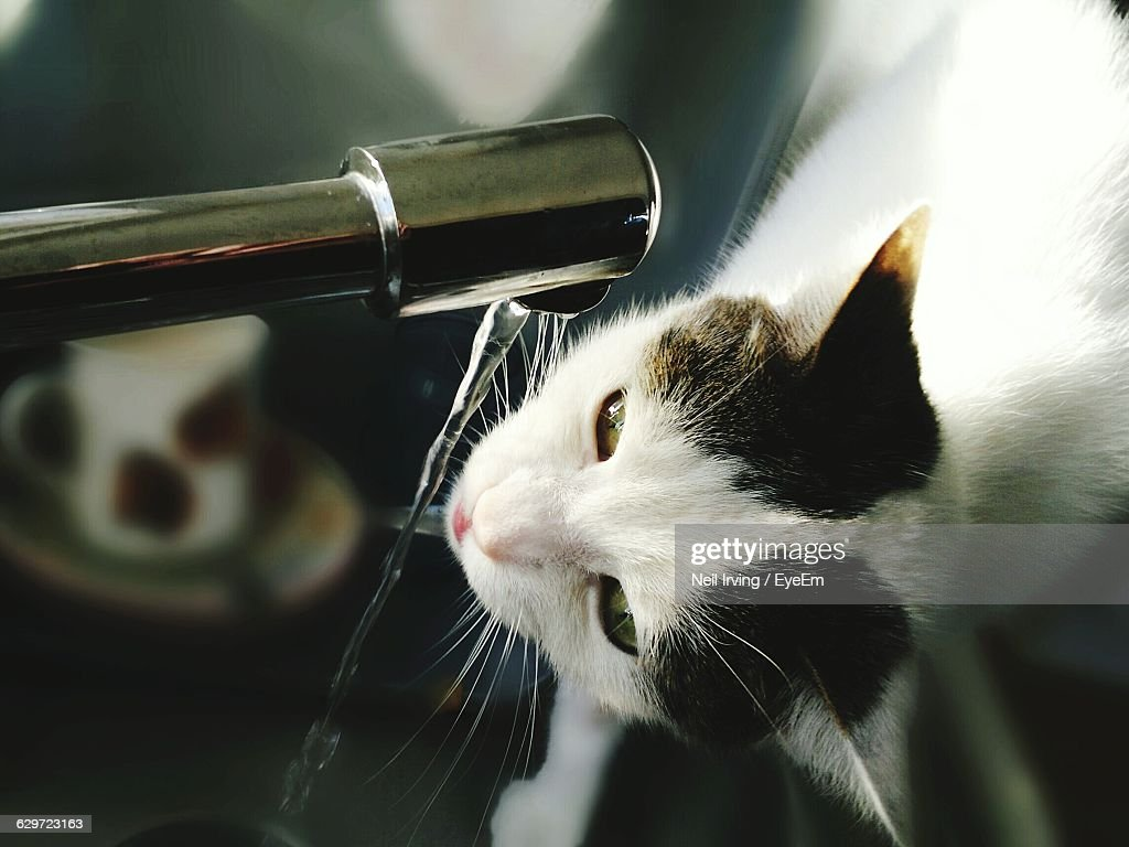 Closeup Of Cat Drinking Water From Running Faucet In Kitchen At ...