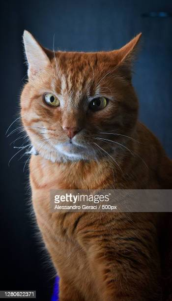 close-up of cat looking away against black background,rugby,united kingdom,uk - whisker stock pictures, royalty-free photos & images