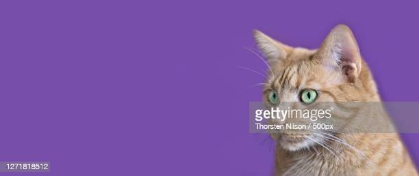 close-up of cat looking away against purple background, neu-ulm, germany - neu stock pictures, royalty-free photos & images