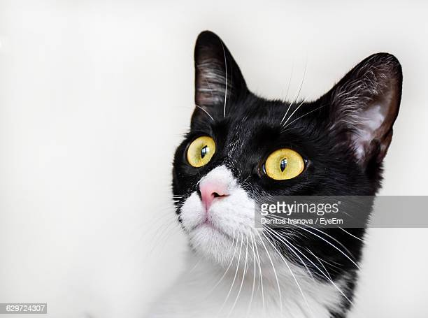 Close-Up Of Cat Looking Away Against White Background