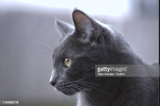 close-up of cat looking away - black siamese cat stock pictures, royalty-free photos & images