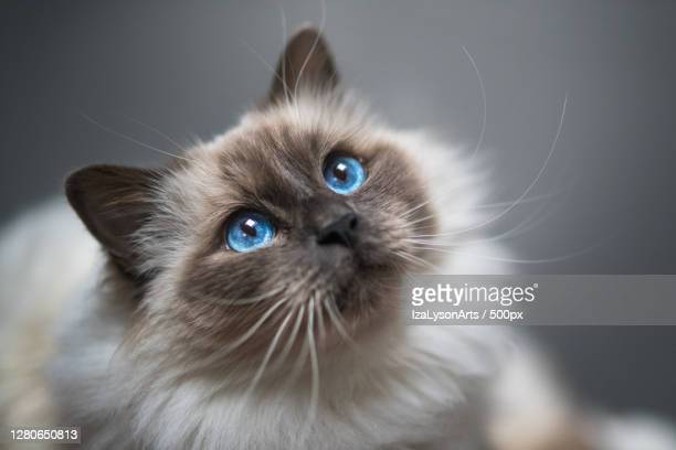 close-up of cat looking away,hakadal,norway - animal whisker stock pictures, royalty-free photos & images