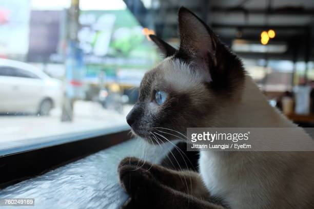 close-up of cat looking through window - siamese cat stock pictures, royalty-free photos & images