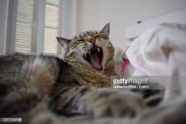 close-up of cat lying down - mulhouse stock pictures, royalty-free photos & images