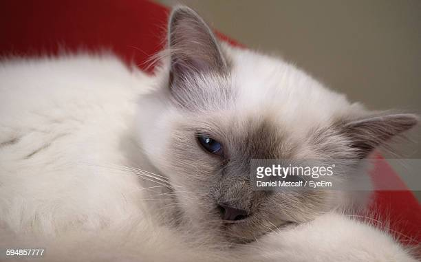 close-up of cat lying on bed - wagga wagga stock pictures, royalty-free photos & images