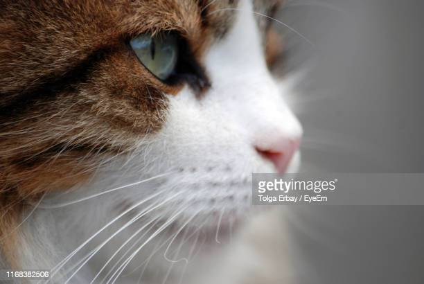close-up of cat - tolga erbay stock photos and pictures