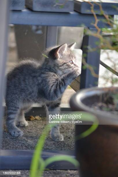 close-up of cat - hamilton new zealand stock pictures, royalty-free photos & images