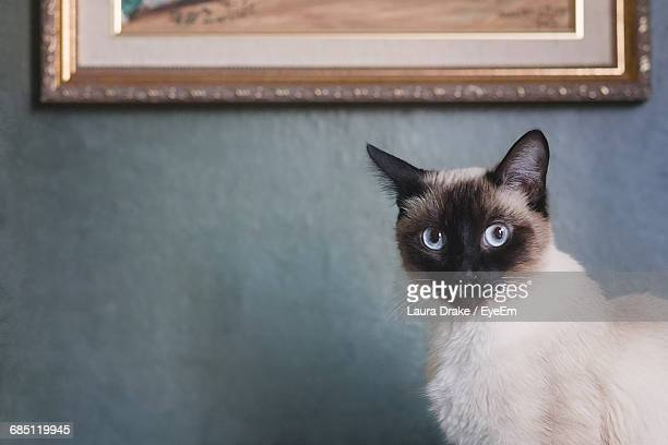 close-up of cat - siamese cat stock pictures, royalty-free photos & images