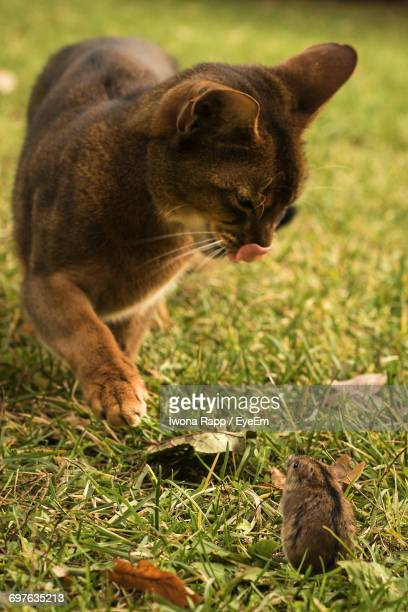 close-up of cat playing with mouse on field - field mouse - fotografias e filmes do acervo