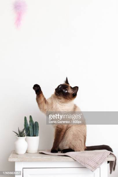 close-up of cat reaching for feather toy against white background, moscow, russia - siamese cat stock pictures, royalty-free photos & images