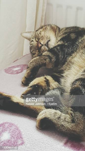 close-up of cat relaxing at home - northampton stock pictures, royalty-free photos & images