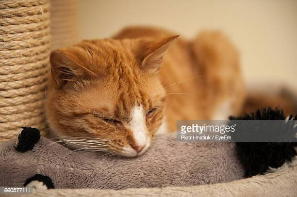 close-up of cat relaxing at home - piotr hnatiuk photos et images de collection