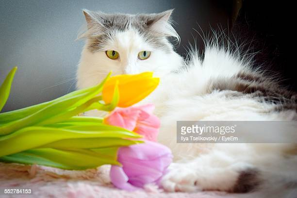 Close-Up Of Cat Resting Beside Tulips