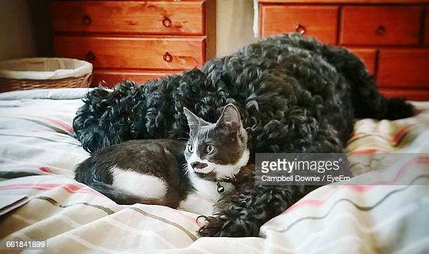 close-up of cat resting on bed - campbell downie stock pictures, royalty-free photos & images