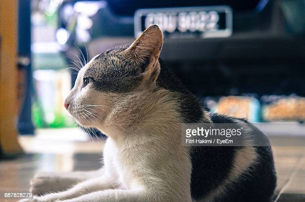 close-up of cat resting - hakimi stock photos and pictures