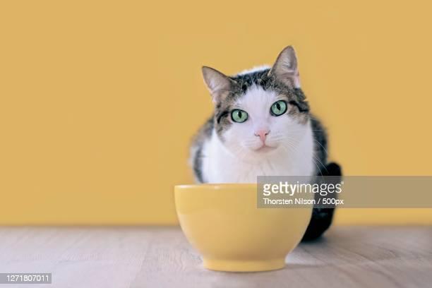 close-up of cat sitting on yellow table against yellow background, neu-ulm, germany - neu ストックフォトと画像