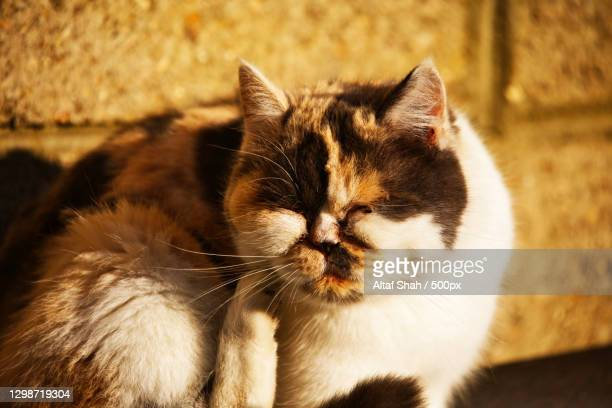 close-up of cat sitting outdoors,luton,united kingdom,uk - british shorthair cat stock pictures, royalty-free photos & images