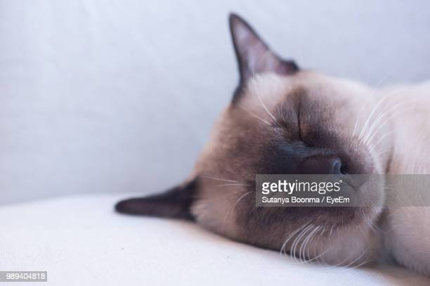 close-up of cat sleeping on bed - siamese cat stock pictures, royalty-free photos & images
