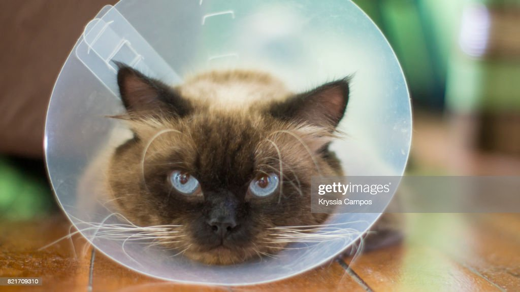 Close-Up Of Cat Wearing Protective Collar : Stock Photo