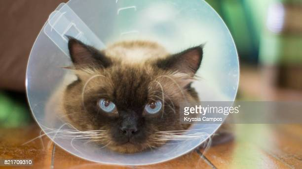close-up of cat wearing protective collar - cone shape stock pictures, royalty-free photos & images