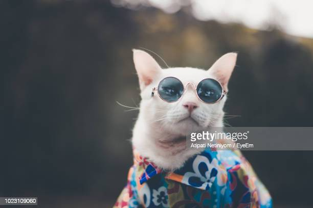 close-up of cat wearing sunglasses - domestic cat stock pictures, royalty-free photos & images