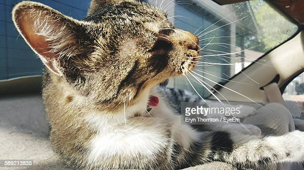 Close-Up Of Cat Yawning In Car