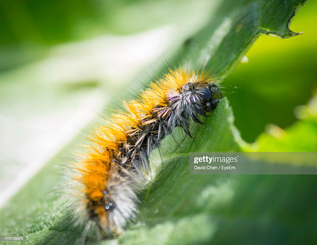Close-Up Of Caterpillar On Green Leaf : Photo