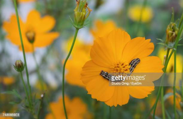 Close-Up Of Caterpillar On Yellow Cosmos Flower