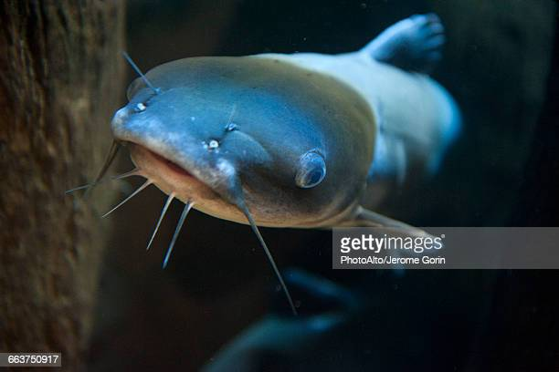 close-up of catfish - catfish stock pictures, royalty-free photos & images
