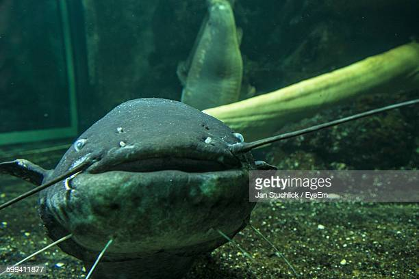 Close-Up Of Catfish Swimming In Aquarium