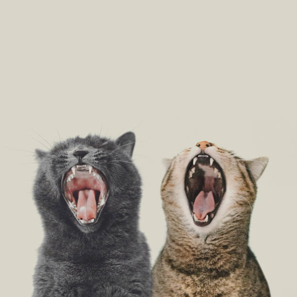 Closeup Cats Yawning Against White - Fine Art prints