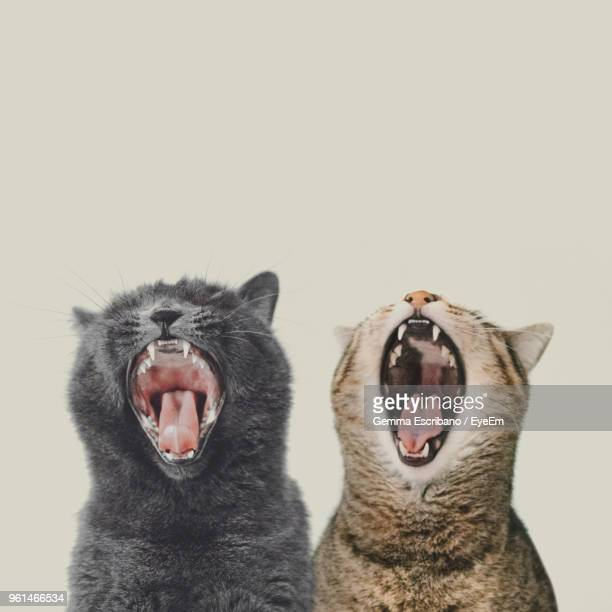 close-up of cats yawning against white background - gato fotografías e imágenes de stock