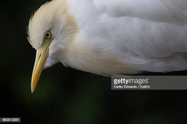 close-up of cattle egret - harley bird stock pictures, royalty-free photos & images