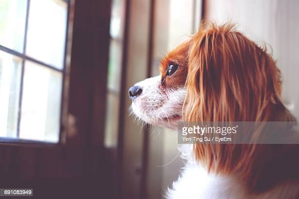 Close-Up Of Cavalier King Charles Spaniel By Window At Home