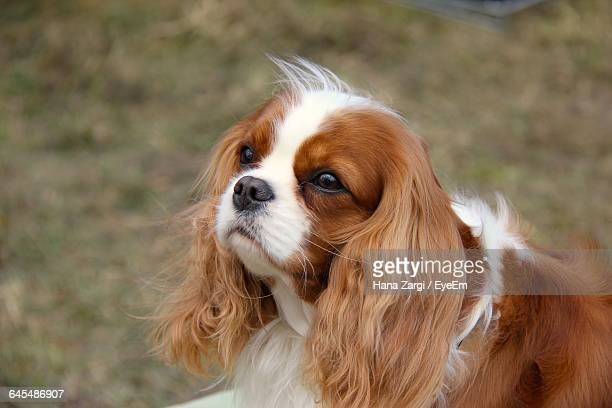 close-up of cavalier king charles spaniel on field - cavalier king charles spaniel stock pictures, royalty-free photos & images