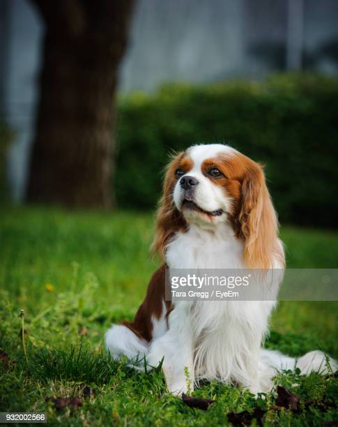 close-up of cavalier king charles spaniel resting on field - cavalier king charles spaniel stock pictures, royalty-free photos & images