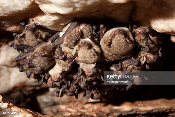 close-up of cave myotis bats hibernating, oklahoma - perching stock pictures, royalty-free photos & images