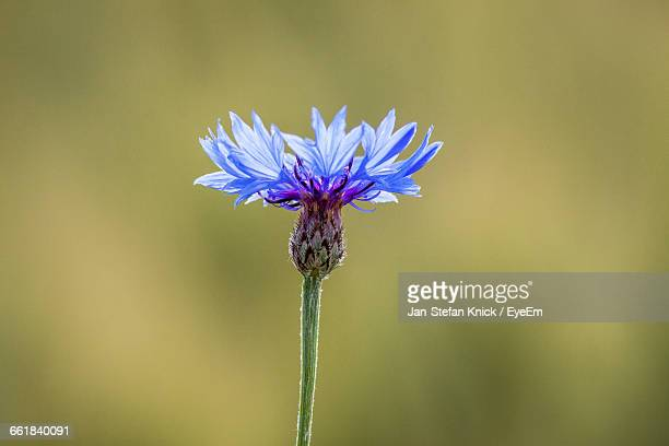 Close-Up Of Centaurea Blooming Outdoors