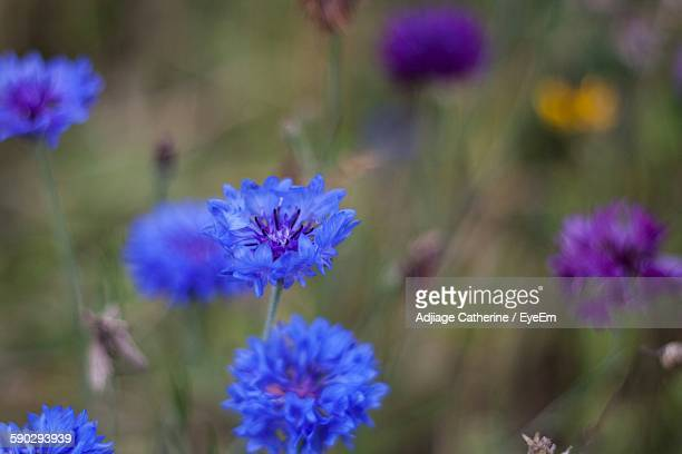 Close-Up Of Centaurea Flowers Blooming Outdoors
