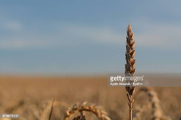Close-Up Of Cereal Plant Against Sky On Sunny Day
