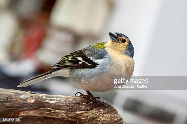 Close-Up Of Chaffinch Perching On Wood
