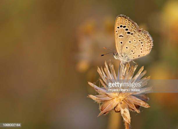 Closeup of Chalkhill blue butterfly (Polyommatus coridon) sitting on flower