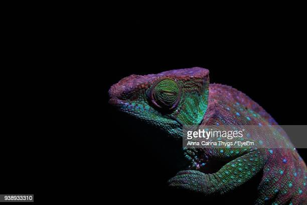 close-up of chameleon against black background - east african chameleon stock pictures, royalty-free photos & images